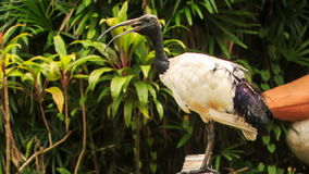 Wood Stork Large Bird Sits on Branch at Green Plants. Wood stork large white bird with black bare head and heavy beak sits on branch against green tropical stock footage
