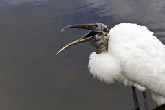 Wood stork laughter Royalty Free Stock Photography