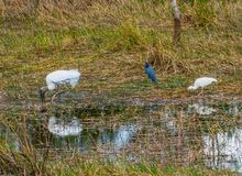 Wood Stork and a Little Blue Heron and an Ibis stock images
