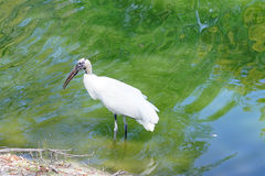 A wood stork is looking for food Royalty Free Stock Images