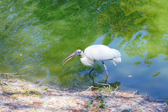 A wood stork is looking for food Stock Photos