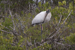 Wood stork. Merritt Island, Florida, FL, Merritt Island National Wildlife Refuge, MINWR royalty free stock photography