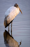 Wood Stork Morning Light Reflection.  Stock Photography