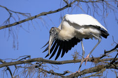 Wood stork, mycteria americana Stock Images