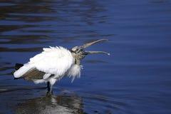 Wood stork, mycteria americana Royalty Free Stock Image
