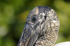 Wood stork, mycteria americana Stock Image