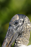 Wood stork, mycteria americana Stock Photography