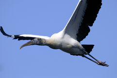 Wood stork, mycteria americana Stock Photo