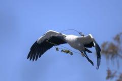 Free Wood Stork, Mycteria Americana Stock Photography - 11753702
