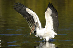 Wood stork, mycteria americana Royalty Free Stock Images