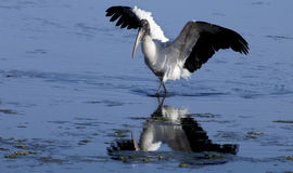 Wood Stork (Mycteria americana) royalty free stock images