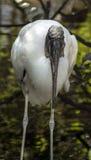 Wood Stork (Mycteria americana) Stock Photography