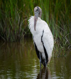 Wood stork, mycteria americana Stock Photos