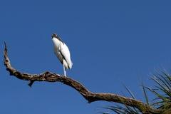 Wood Stork, Mycteria americana Royalty Free Stock Photography