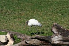 Wood stork Mycteria americana Royalty Free Stock Photos