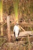 Wood stork Mycteria americana Stock Photo