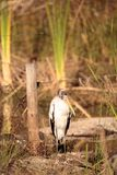 Wood stork Mycteria americana Stock Photos
