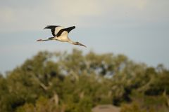Wood Storks can be seen in large numbers in the Amelia Island, Florida Greenway. The wood stork Mycteria americana is a large American wading bird in the stork royalty free stock photo