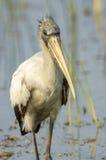 Wood Stork, (Mycteria americana) searching for food Stock Photos