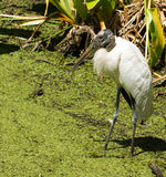 Wood Stork (Mycteria americana) in a wetland covered with Floating Fern (Salvinia minima) Stock Images
