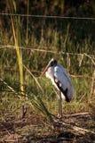 Wood stork Mycteria americana Royalty Free Stock Photo