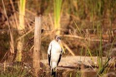 Wood stork Mycteria americana Royalty Free Stock Photography