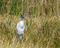 Wood stork Mycteria som är americana i sawgrassvåtmarker i Florida Royaltyfri Bild