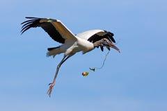 Wood Stork Nest-Building Stock Images