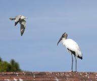 Wood stork och seagull Arkivfoton