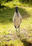 Wood stork på en bakgrund av grönt gräs mot bakgrund field blåa oklarheter för grön vitt wispy natursky för gräs solig dag Arkivbilder
