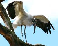Wood stork på träd Arkivfoto