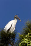Wood Stork perched in Florida tree. USA Stock Photography