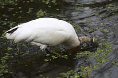 Wood stork plunging its head underwater in the Florida Everglade Stock Photo