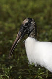 Wood Stork Portrait Royalty Free Stock Photos