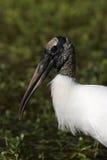 Wood Stork Portrait Royalty Free Stock Photos