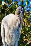 Wood Stork Portrait. Profile Portrait Of Adult Wood Stork Against Mangrove Bush Stock Image