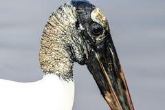 Wood Stork Profile Royalty Free Stock Photo