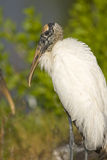 Wood Stork at rest after a meal. A Wood Stork at rest after a good morning meal Stock Photo