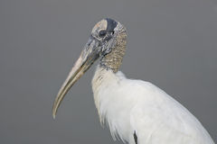 A Wood Stork resting on the bank. Of a small pond Stock Photo