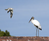 Wood stork and seagull Stock Photos
