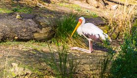 Wood stork sitting on its knees in the grass, tropical bird from Africa and America. A wood stork sitting on its knees in the grass, tropical bird from Africa royalty free stock photos