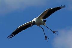 Wood stork som in kommer för en landning i Florida Royaltyfri Foto