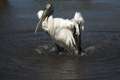 Wood stork som plaskar, medan ta ett bad i centrala Florida Fotografering för Bildbyråer