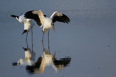 Wood stork spreading wings Royalty Free Stock Photos