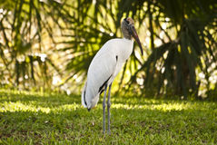 Wood Stork Standing  Stock Photo