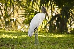 Wood Stork Standing  Stock Photo