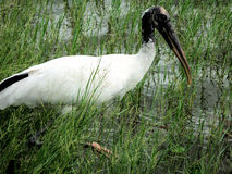 Wood Stork standing in lake Royalty Free Stock Photo