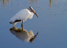 Wood stork stands in water with reflection. In Gelery Fields near Sarasota, FL Royalty Free Stock Photos