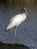 Wood Stork. A stately Wood Stork stands on the edge of a South Carolina wetland while foraging for food stock photos