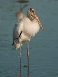 Wood Stork Stock Photos